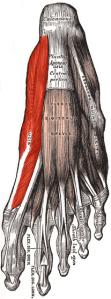 Abductor hallucis longus
