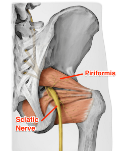 piriformis_sciatic_yoga_anatomy